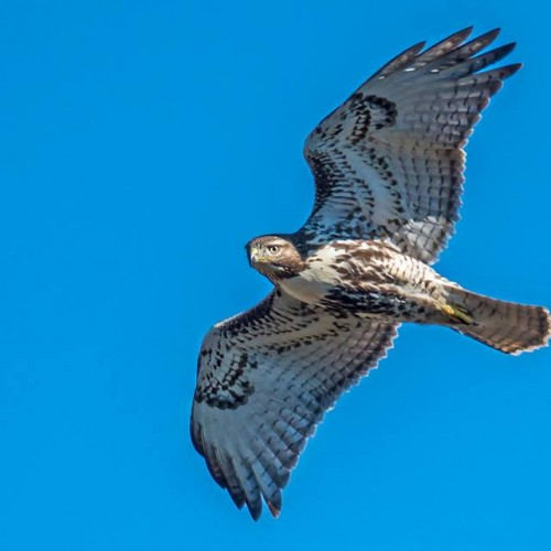 Where Raptors Soar: A Day at the Hawk Watch